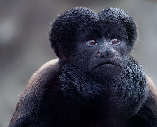 Beardy Monkey: Southern Bearded Sakis Monkey