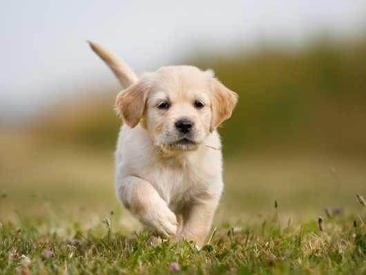 Outstanding K C Reg Golden Retriever Puppies Retriever Puppy Puppies Pets