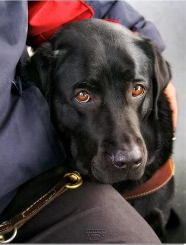 Black labs have such pretty expressive brown eyes. This one looks like my pooch.