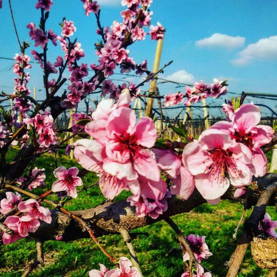 #fasoligino #bio #vineyards #flowerspower #spring #nature