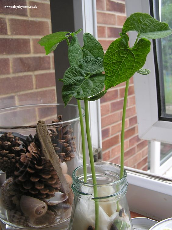 Growing Beans - simple science at home | Science ...
