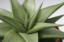 De Plata! Haworthia limifolia umbomboensis succulent655 Cactus no abigarrada Aloe
