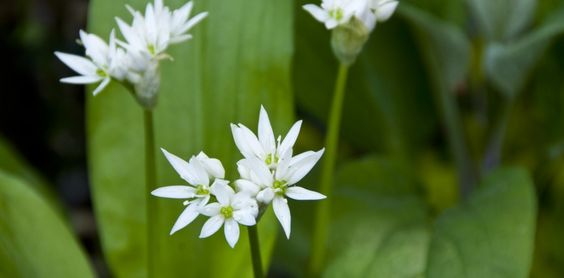 Der Bärlauch (Allium ursinum) ist nicht nur lecker, sondern spielt eine grosse Rolle in der Phytotherapie. Lesen Sie hier was er alles so kann...