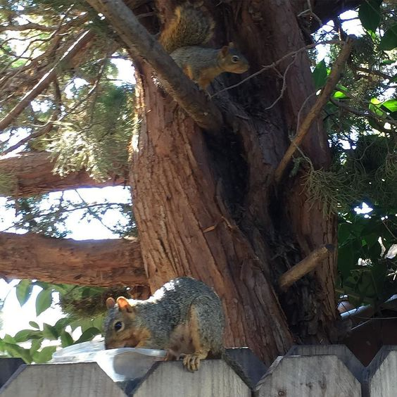 This is DaisyMae eating. One of her babies there are two is sitting on the branch above. I fed her through her pregnancy and now she has brought the babies for me to enjoy!! #sf #squirrels #micro #microgreens #nature #happy #baby #friend by thesproutlady