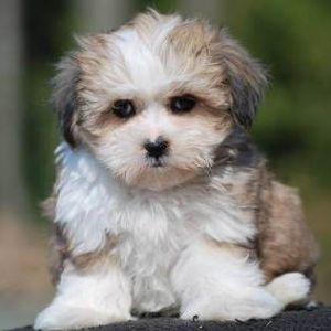 Teddy Bear Puppy & Teddy Bear Breed Information