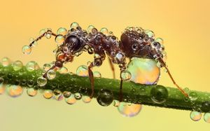 Gotas de rocío + hormiga