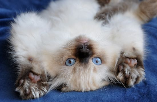 Glorious Siamese Cat Gallery Ideas Beautiful Cats Ragdoll Cat Cats And Kittens