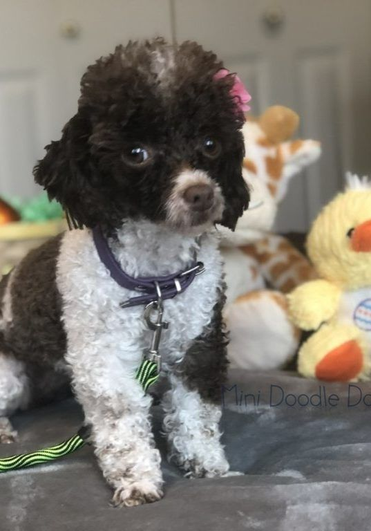 Toy Poodle Puppies For Sale Teacup And Micro Poodle Puppies
