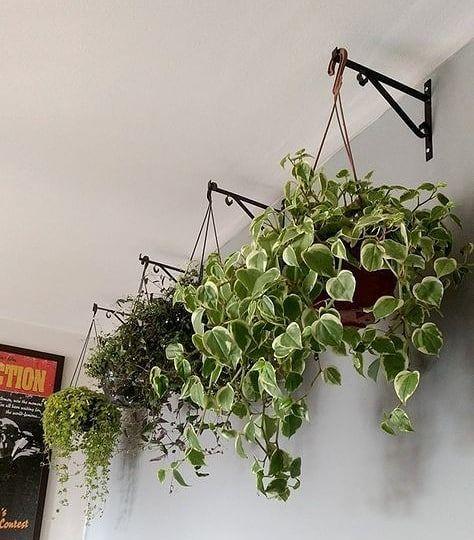 Plantas de casas pendurada para decoração