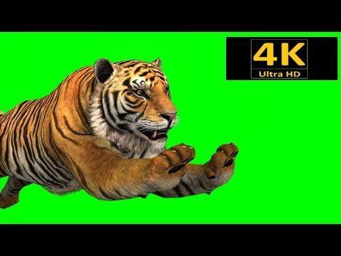 Free Green Screen Animals Tiger Chroma Key 3d Animation 4k Hd Youtube Free Green Screen Greenscreen Green Screen Backgrounds