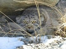 Elusive Wildcat Photographed For The First Time In Siberia