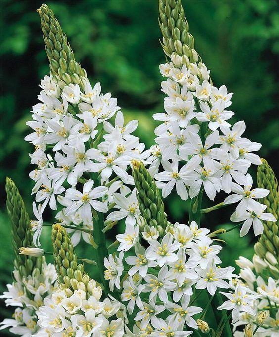 Ornithogalum magnum - Ornithogalum - Best of the Rest - Fall 2014 Flower Bulbs