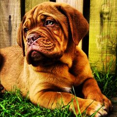 My 3 month old Dogue De Bordeaux (Sylvia Taylor) Tags: dog puppy ddb doguedebordeaux frenchmastiff