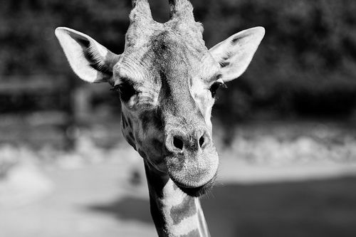 Giraffe - black and white @tarongazoo