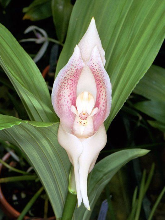 17 best images about bleunio flowers the o 39 jays hunt 39 s for Praying angel plant