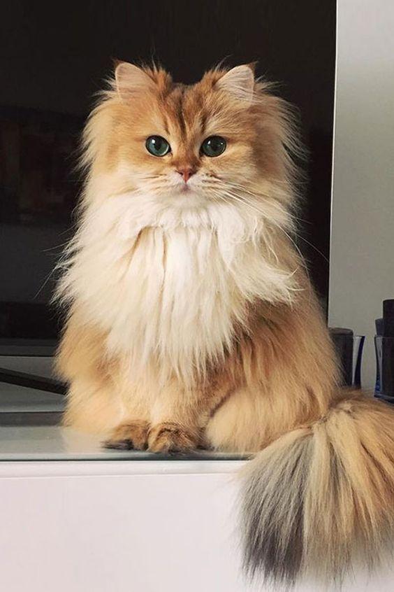 British Longhair Cat Breeds In 2020 Cat Breeds Cute Cat Breeds Cute Cats
