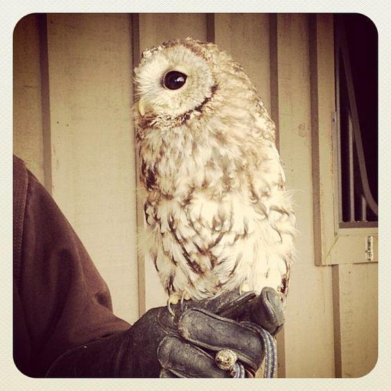 tawny owl, bird of prey