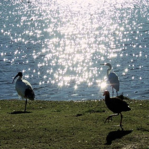 Where is a pleasant area to bird watch in your local area? James C shared found these majestic water birds in Woodcroft #capturethecover #birds #birdwatching