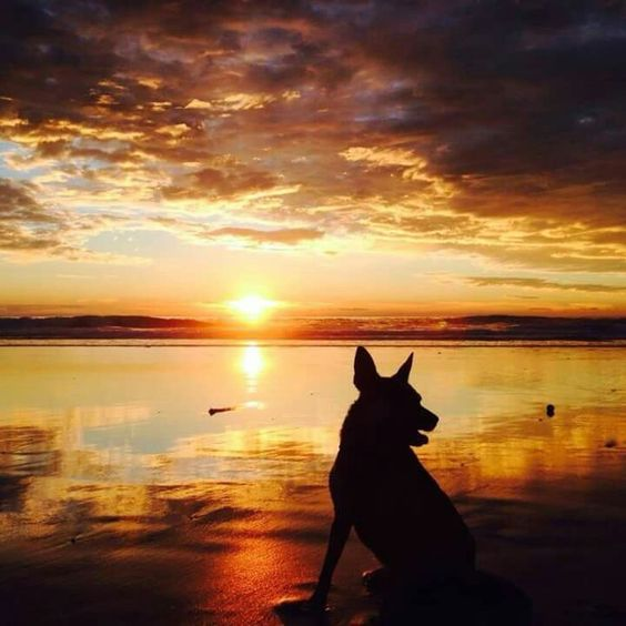 Sunset At The Beach Dog Silhouette Cattle Dogs Rule