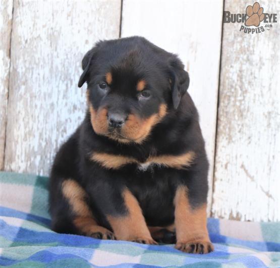 Rottweiler Rotty Charming Puppiesofpinterest Pinterestpuppies Lancasterpuppies Puppies Pups Rottweiler Puppies Rottweiler Puppies For Sale Rottweiler