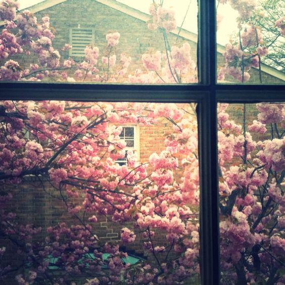 Window cherry blossoms