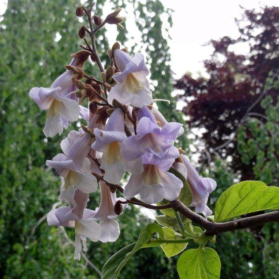 Der Blauglockenbaum (Paulownia tomentosa) ist nicht nur aufgrund seiner Blüten, sondern auch wegen seiner in der Jugend extrem großen Blättern ein spektakulärer Baum.