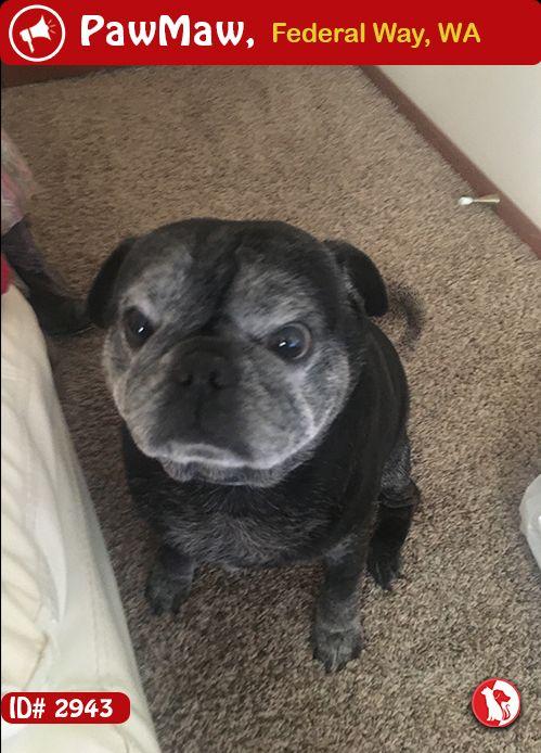 Help Sabbath Is Lost Black Pug Puppies Pug Dog Pug Puppies