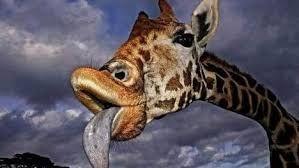 Grimace de girafe.