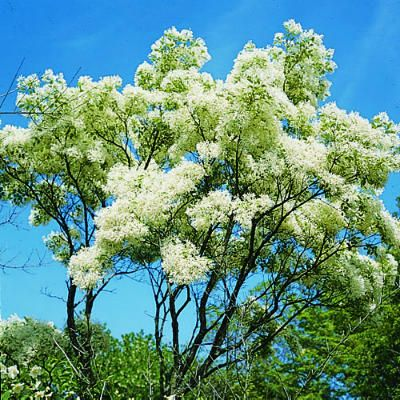Top 10 trees for small spaces trees 10 tree and the ojays fringe tree named for the narrow fringlelike white petals that are borne in a mightylinksfo