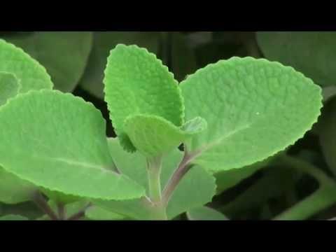 El Increíble Orégano Orejón Entérate De Todos Sus Beneficios 205 Youtube Oregano Orejon Plantas Orégano