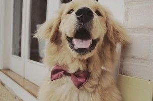 lovely♥dog bow tie.