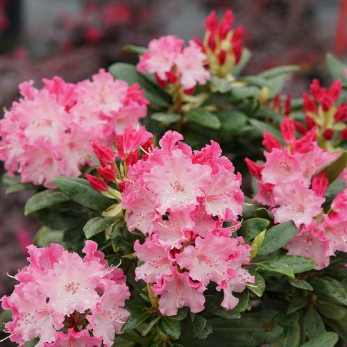 Dandy Man Color Wheel Rhododendron X With Images Shade