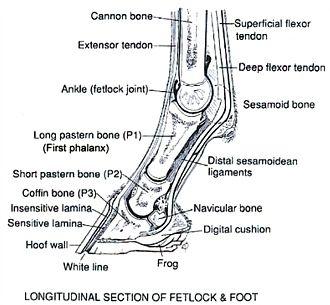 Horse pastern anatomy