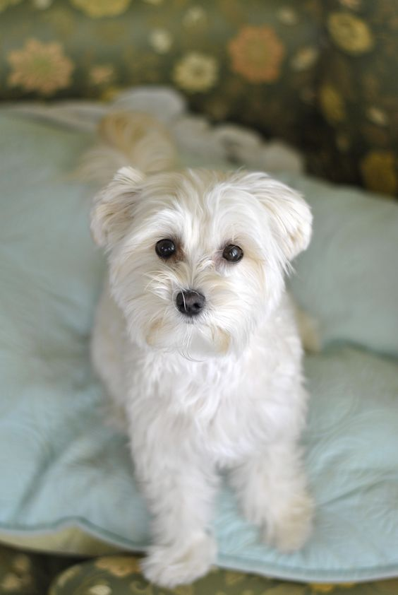 morkie dog. things that i adore Pinterest Love, Dogs