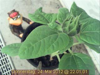 Die Webcam-Sonnenblume würde sich über eine Nominierung für den Grimme-Online-Award zweifelsohne freuen!