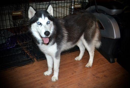 Siberian Husky Puppy For Sale In Grayson La Adn 69923 On