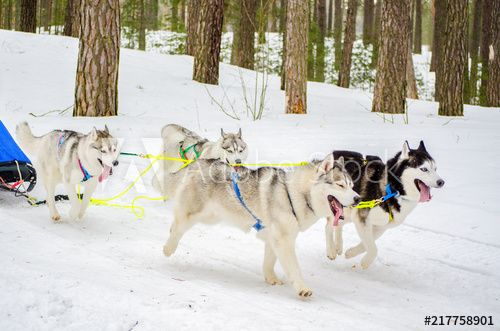 Sled Dog Siberian Husky Breed In Harness Husky Dog Has Black And