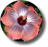 American Hibiscus Society