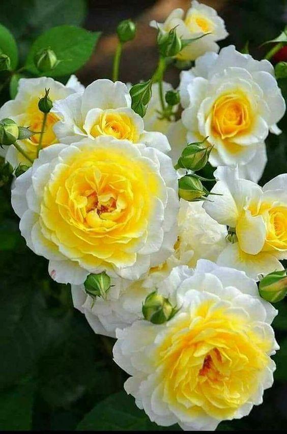 Fiori Gialli Rampicanti.Riccardo Coltivare I Fiori Rose Belle Piantare Fiori