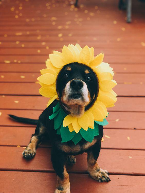 #halloween #sunflowers #halloweencostumes #dog #cuteanimals #fall