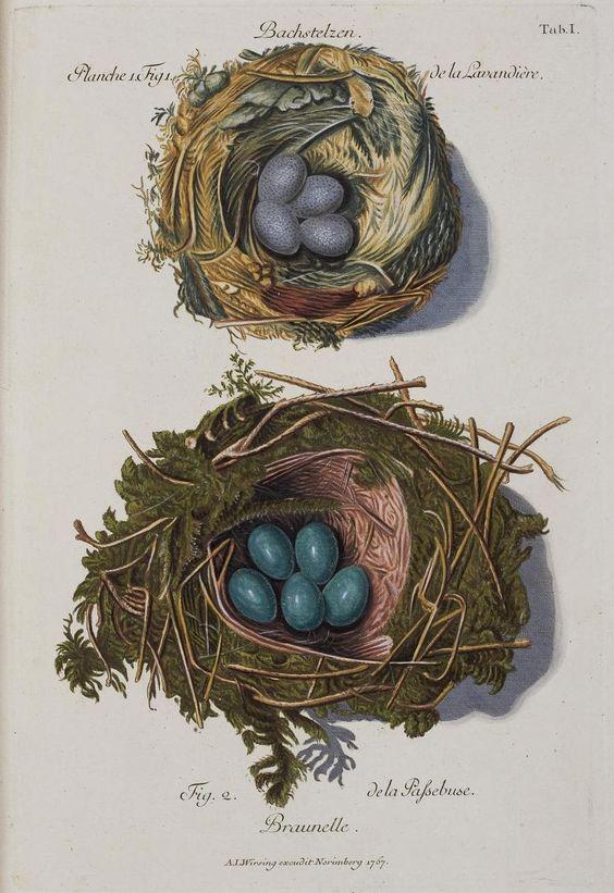 Bird's eggs and nests  'Sammlung von Nestern und Eyern verschiedener Vögel..' by FC Günther and AL Wirsing, published between 1772 and 1786;