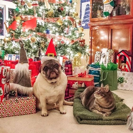 Merry Christmas, now can I take this hat off so the cat will stop staring at me! #puglife #canada #yyj #pug #pugsofinstagram #christmas #christmastree #christmasdogs #cats #catsofinstagram #catsanddogs #westcoast #vancouverisland #christmasmorning #presents #ilovemypug #pugs #christmasdog