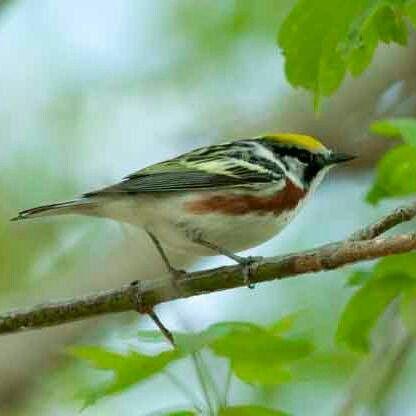 Chesnut-sided Warbler 5/7/2014
