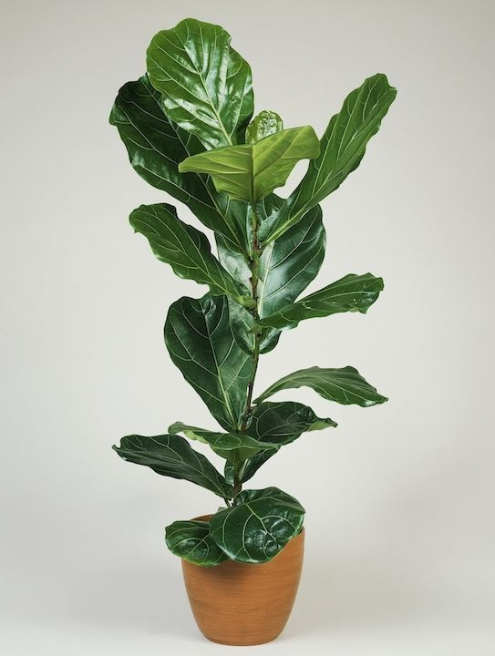 Fiddle Leaf Fig Tree, low maintenance house plants that you could not possibly kill.