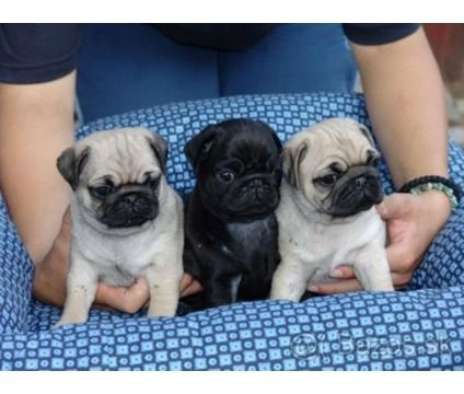 Cute Pug Puppies Available is a Female Pug For Sale in Jacksonville FL