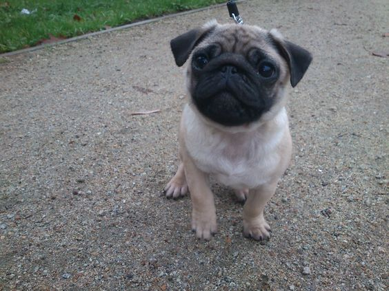 my sweet Lolek - pug puppy