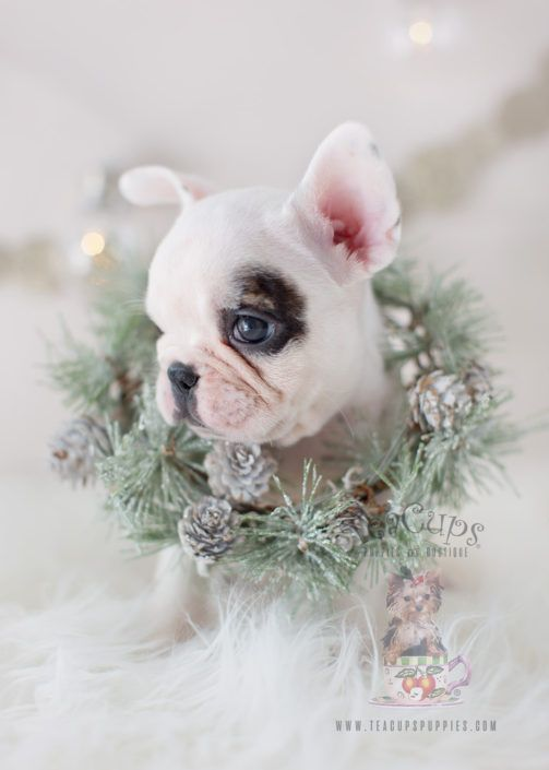For Sale White French Bulldog Frenchie Puppy 301 Teacup Puppies Bulldog Puppies Puppies