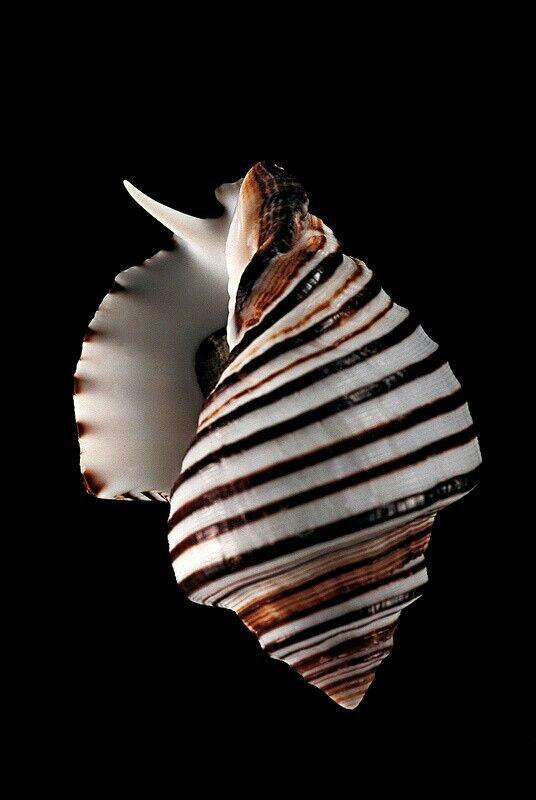 Opeatostoma pseudodon: