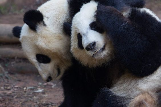 soinlovewithpandas: Twin sisters Mei Lun and Mei... | Pandas NEED our LOVE