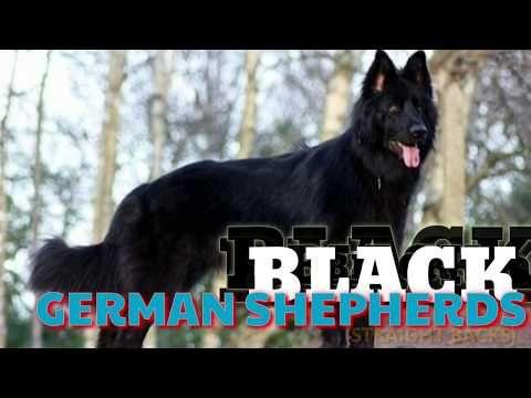 Black German Shepherd Double Coat Straight Back Puppies For Sale